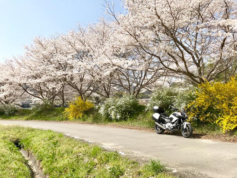 秘密にしておきたい桜並木