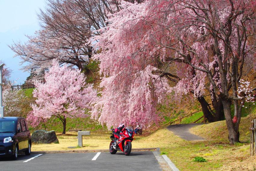 バイクに降り注ぐ桜