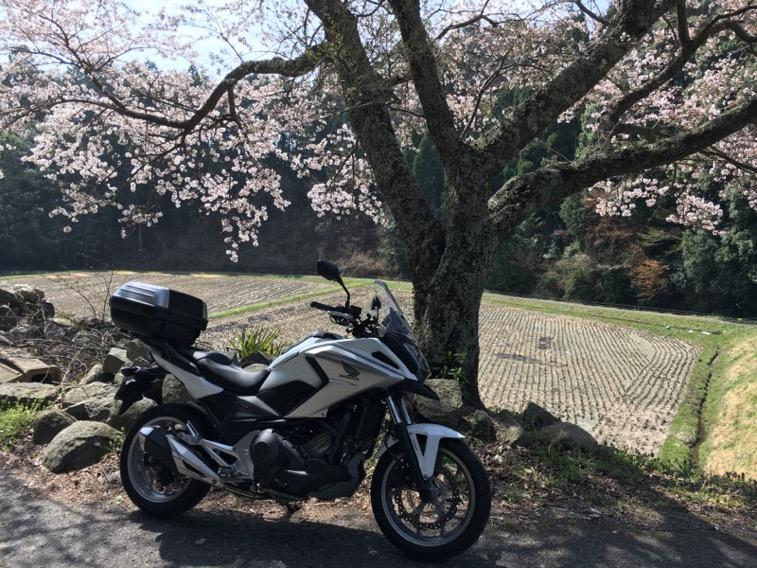 四年ぶりの一本桜