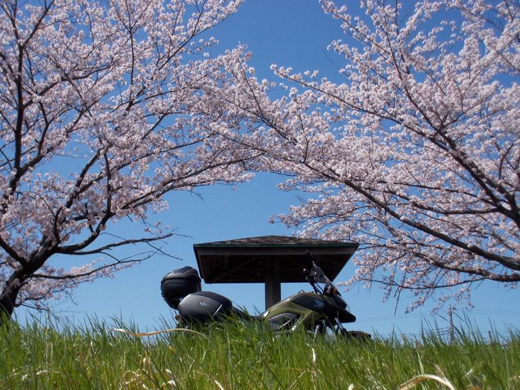 ごきんじょさんの桜