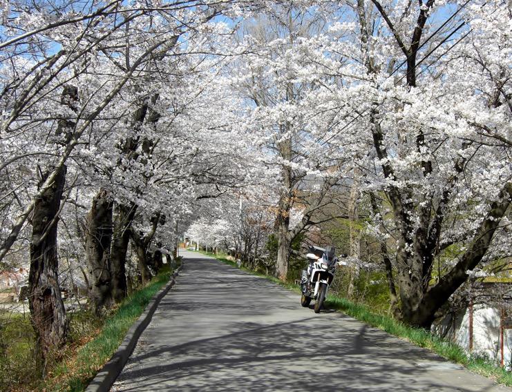 桜花のトンネル