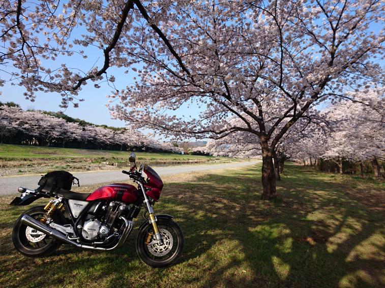 満開の桜並木の下で