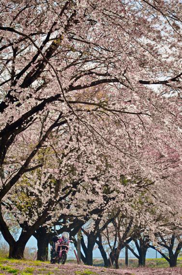 桜前線、捕まえた!