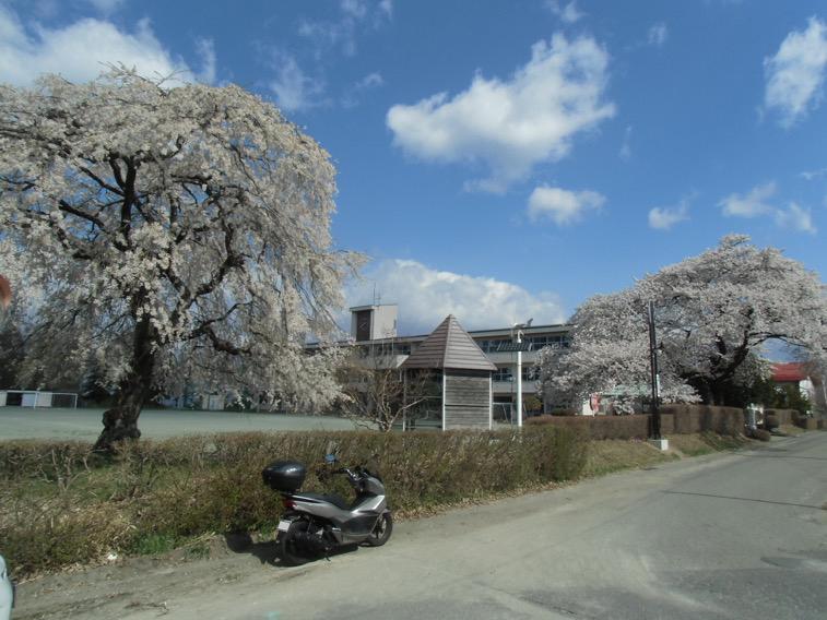 新学期を祝う満開の桜