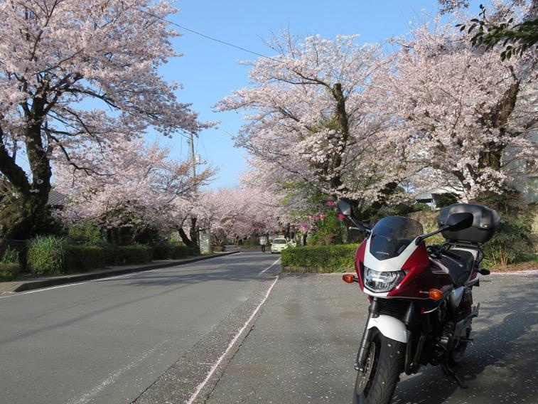 みごとな桜並木です