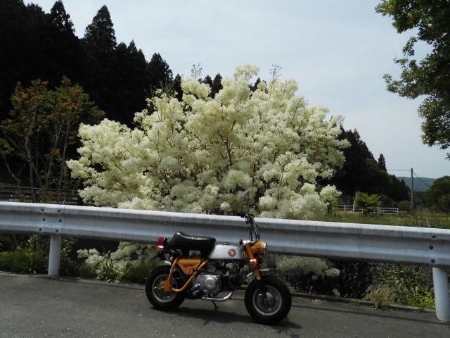 白い花木?