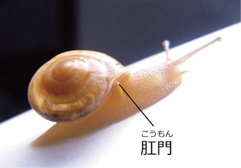 カタツムリの肛門